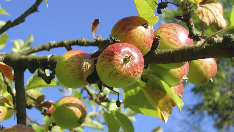 jablko strom