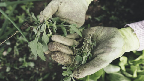 plevel zahrada