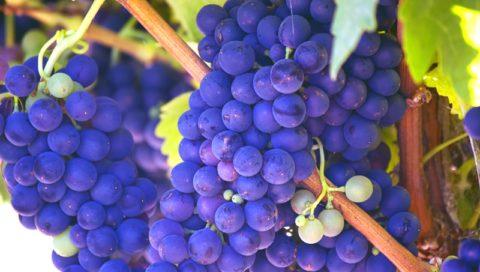 víno plody